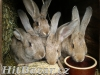 Prodám na chov králíky po belgickém obrovi