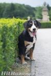 Entlebušský salašnícky pes - 2