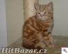 Britská červeně mramorovaná koťátka s PP