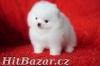 Pomeranian štěňata - 1