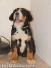 Veľký švajčiarsky salašnícky pes - 2