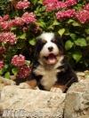 Bernský salašnícky pes - 4