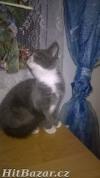 Krásná modrá koťátka - odběr možný hned, bez PP