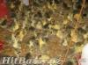 Housata,kuřata,krůty,kuřice,mulardy,perličky