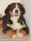 Veľký švajčiarsky salašnícky pes - 1