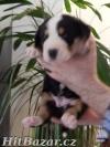 Veľký švajčiarsky salašnícky pes - 3