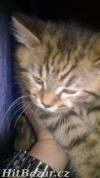 Prodám britské kotě - kocourek - 2