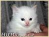 koťata Ragdoll s PP, kočičky i kocourci