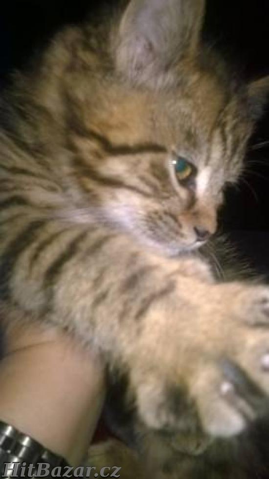 Prodám britské kotě - kocourek