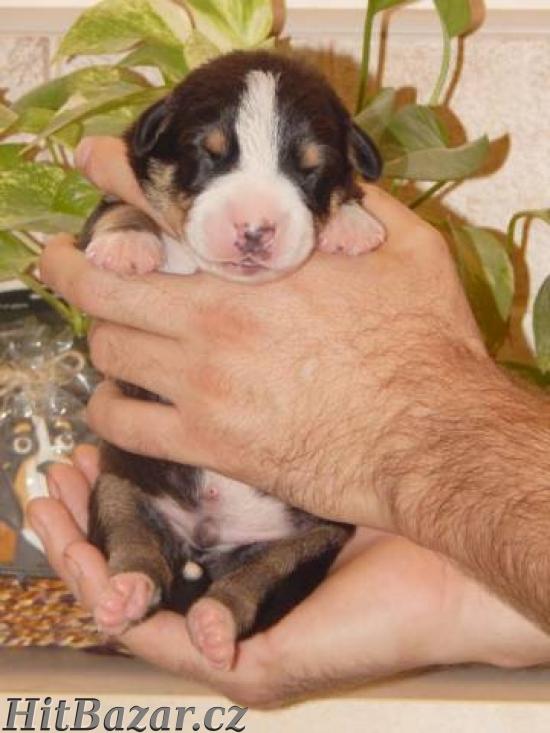 Entlebušský salašnícky pes - 5