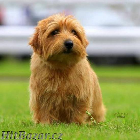 Norfolk Terrier - 5