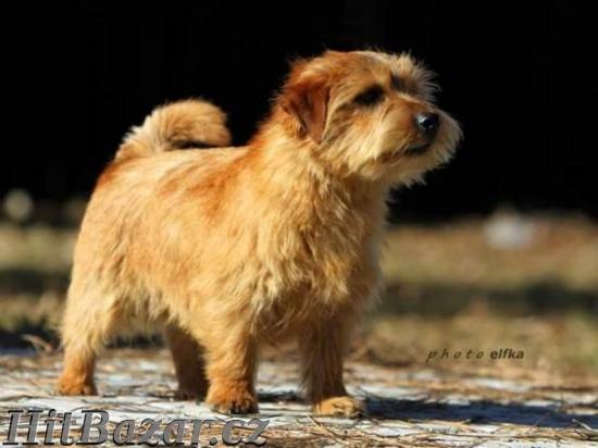 Norfolk Terrier - 4