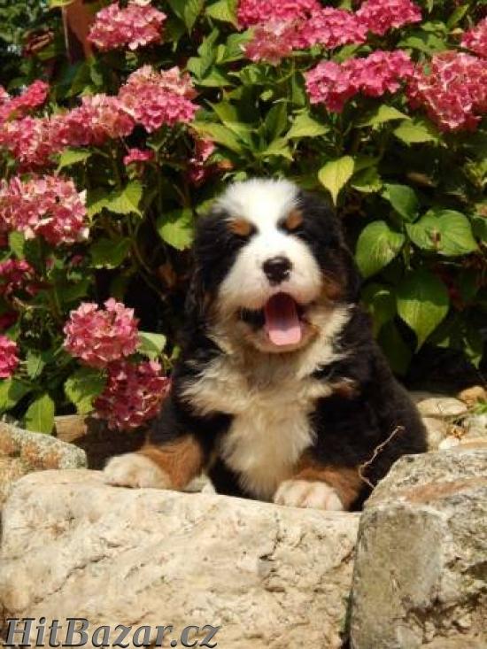 Bernský salašnícky pes - 5