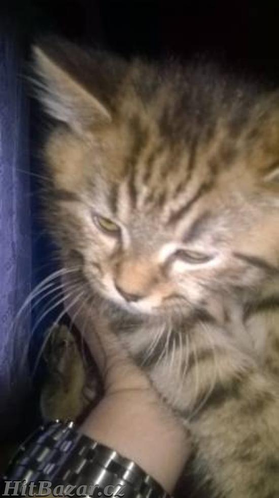 Prodám britské kotě - kocourek - 3